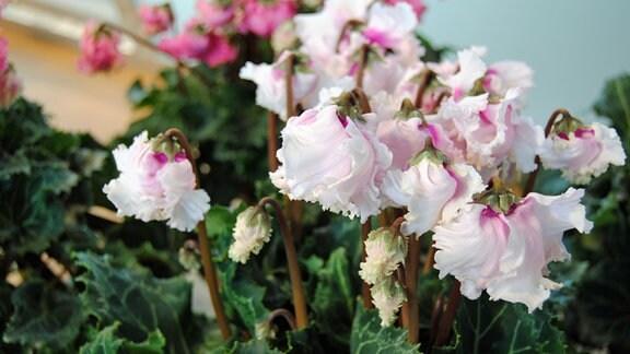 Mehrfarbig blühendes Alpenveilchen der Sorte 'Latinia Pipoca'