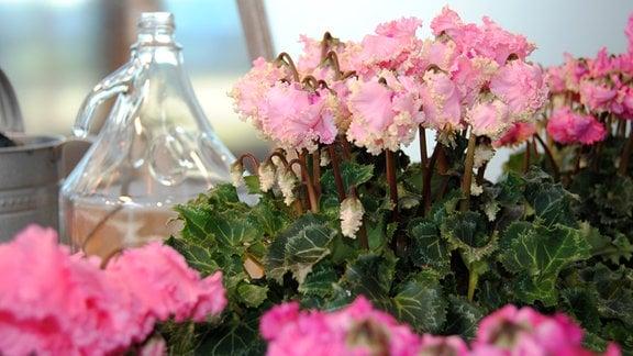 Blühende Alpenveilchen der Sorte 'Latinia Pipoca'