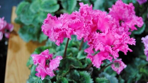 Pink blühendes Alpenveilchen der Sorte 'Pom Pom'