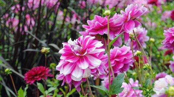 Rosa-weiße Blüten von Dahlien