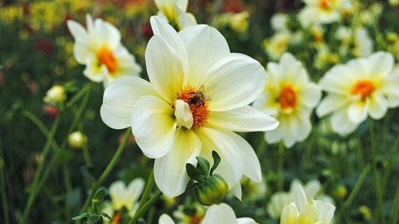 Cremefarbene Blüte einer Dahlie der Sorte Luna mit Biene
