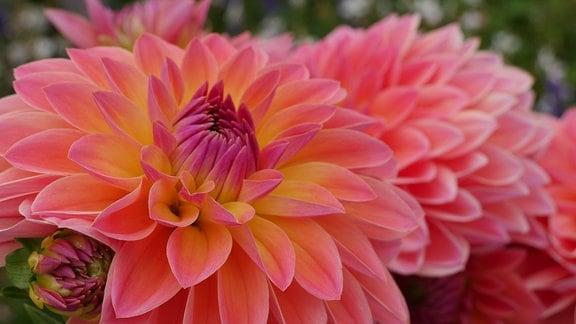 Gefüllte Blüte einer Dahlie
