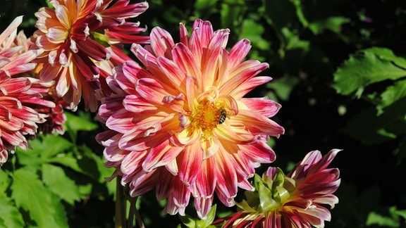 Chrysanthemenblütige Dahlie der Sorte Akita