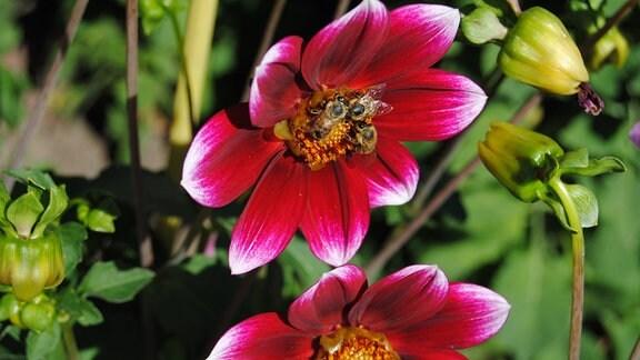 Einfach blühende Dahlie der Sorte Kommissar mit Bienen