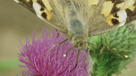 Distelfalter auf violetter Blüte einer Distel