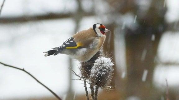 Distelfink im Winter