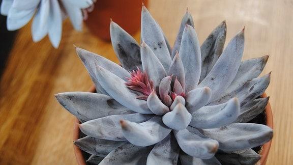 Topfpflanze mit grauen, spitz zulaufenden Blättern