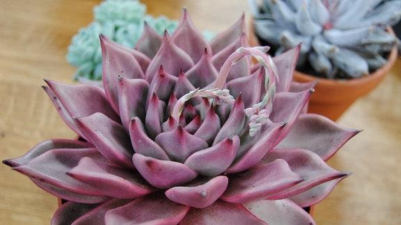 Verschiedene rosettenförmige Topfpflanzen