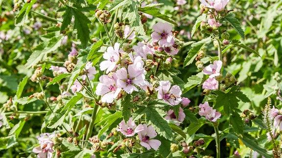Hohe buschige Eibisch-Pflanze mit rosaroten Blüten die dem Hibiskus ähnlich sind.