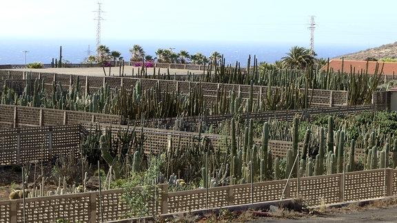 Kakteenfarm Canary Kaktus auf Teneriffa
