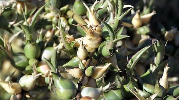 Agave augustifolia