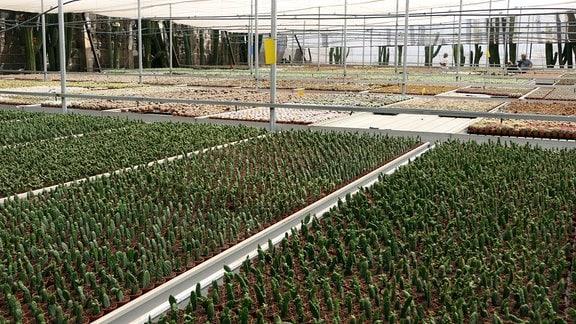 Gewächshaus der Kakteenfarm Canary Kaktus auf Teneriffa