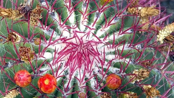 Blüte eines Ferokaktus