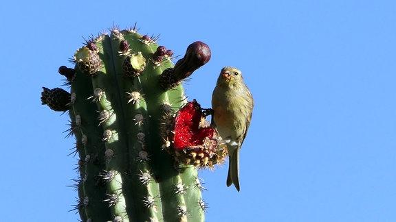 Ein Vogel sitzt auf einem Kaktus.