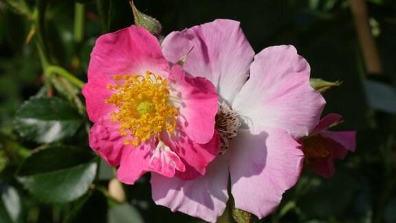 Eine ungefüllte rosafarbene Rosenblüte