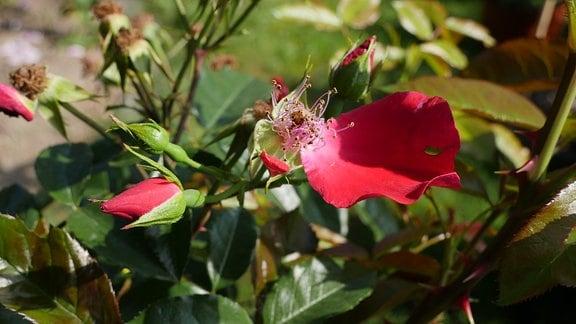 Eine rote Knospe einer Rose