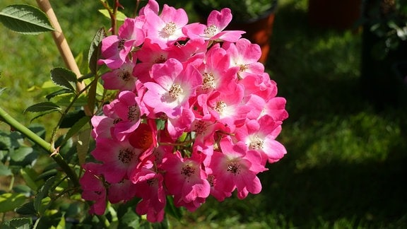 Ein Bündel ungefüllt blühender rosafarbener Rosenblüten