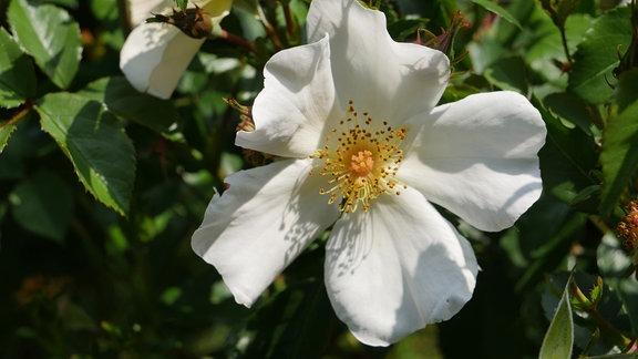 Eine ungefüllt blühende weiße Rosenblüte