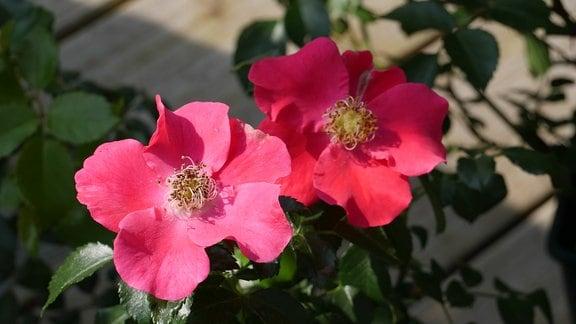 Zwei ungefüllt blühende dunkelrosa Rosenblüten