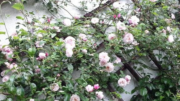 Weiß-rosa blühende Ramblerrose der Sorte 'Ayshire Queen'