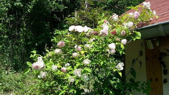 Weiß-rosa blühende Ramblerrose der Sorte 'Pauls Himalayan Musk'