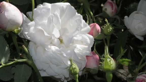 Weiß-rosa Blüten der Rose 'Madame Plantier'