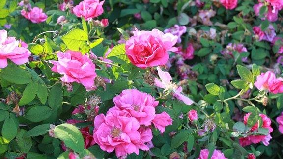 Rosa blühende Apothekerrose