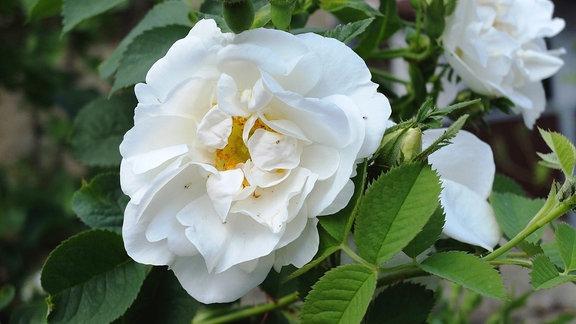 Weiß blühende Parkrose der Sorte 'Alba Suaveolens'