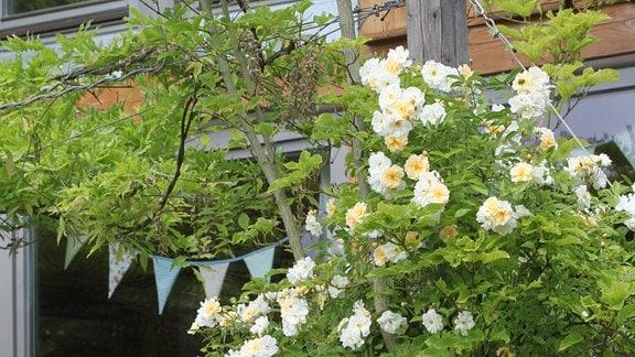 Weiß blühende Rose der Sorte 'Christine Helene'