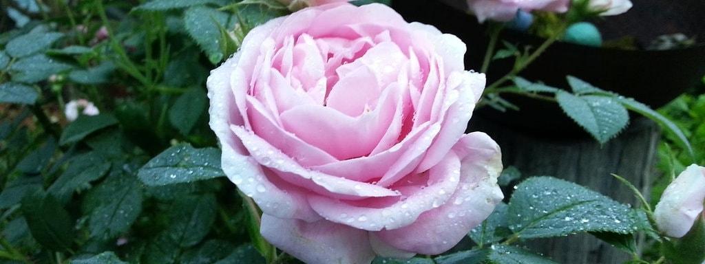 Rosen Schneiden Zeitpunkt