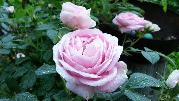 Rosa blühende Rose der Sorte 'Königin von Dänemark'