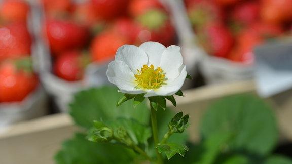 Weiß blühende Erdbeere der Sorte 'Süße Marie'