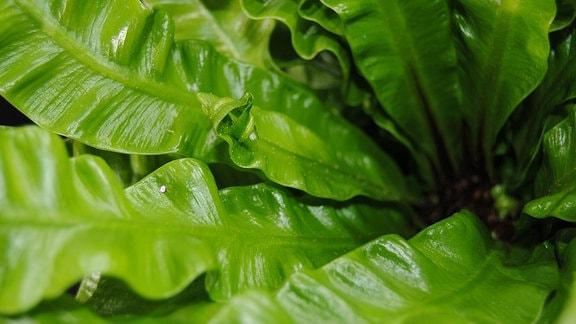 Nahaufnahme eines Farnes mit glänzenden, hellgrünen, nach oben strebenden Blättern