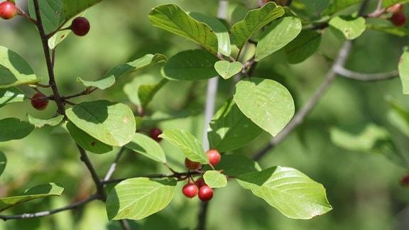 Blätter und Früchte des Faulbaums