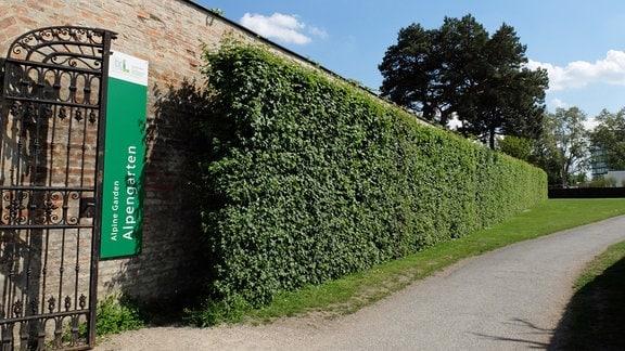 Hohe Hecke aus Feldahorn neben Mauer