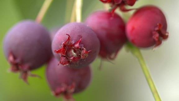 Rotviolette Früchte der Felsenbirne Sommergetränk aus Felsenbirnen