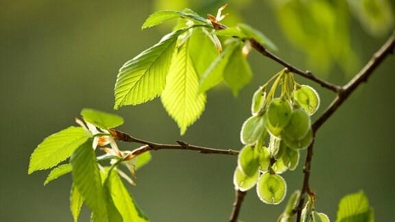 Blätter der Flatterulme