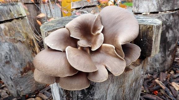 Austernpilze wachsen auf einem Holzstamm.