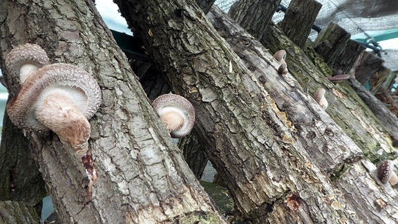 Shiitakepilze wachsen auf Holzstämmen.
