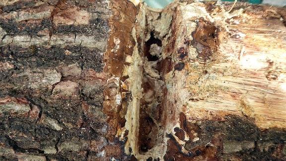 Ein eingekerbter Holzstamm.