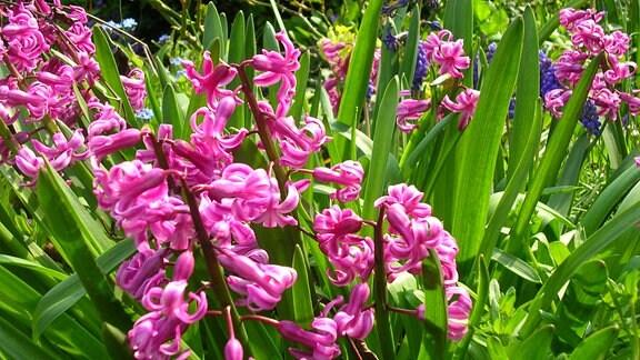 rosa blühende Hyazinthen im Garten
