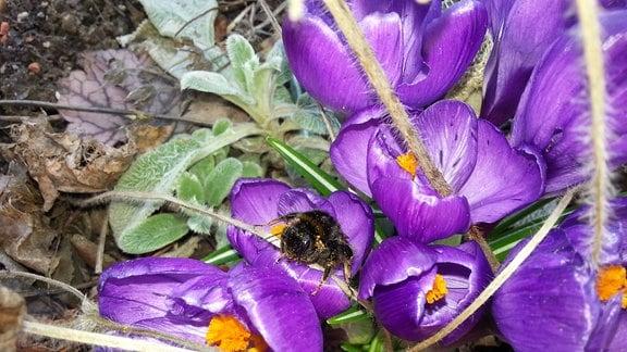 lilafarbene Krokusse im Garten