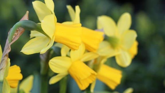 gelb blühende Narzissen in Nahaufnahme