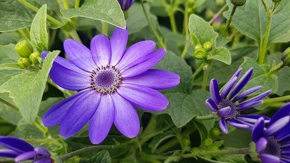 intensiv lila-blaue Aschenblume