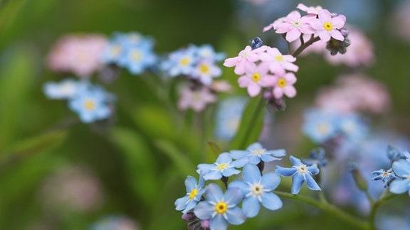 blau-rosa Blüten vom Vergissmeinicht in Nahaufnahme