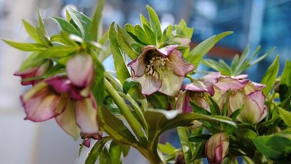 Lenzrose mit weiß-rosa Blüten
