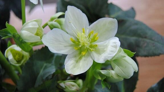 Weiße Blüte einer Lenzrose