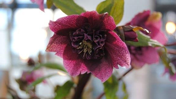 Purpurfarbene Blüte einer Lenzrose