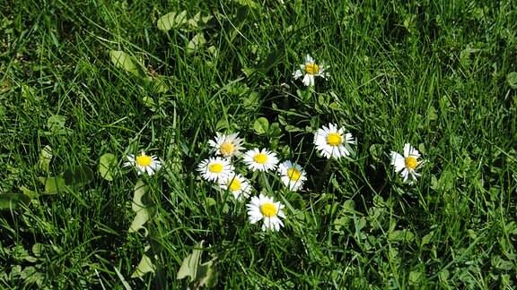 Blüten von Gänseblümchen im Gras