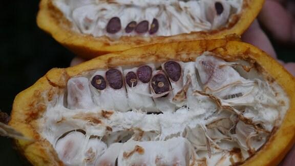 Die geöffnete Frucht eines Kakaobaums.